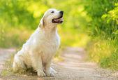 Nahaufnahme Foto von einer Schönheit Labrador Hund