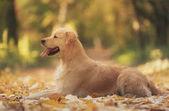 Krásný zlatý retrívr pes v přírodě