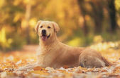 Beautiful golden retriever dog in the nature