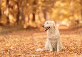 Golden Retriever dog relaxing in autumn park