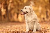 Golden Retriever kutya kellemes őszi park