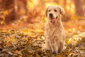 Golden Retriever dog relaxing in autumn park