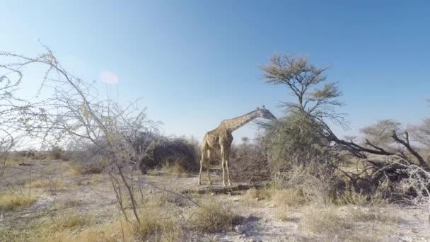 Žirafa z akátu v známého národního parku Etosha, hlavní cesty v Namibii, Afrika.