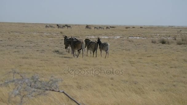 Herd of Zebras walking in the african savannah, Etosha National Park, Namibia, Africa.