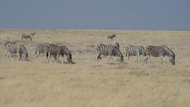 Herd of Zebras walking in the african savannah, Etosha National Park, Namibia, Africa.