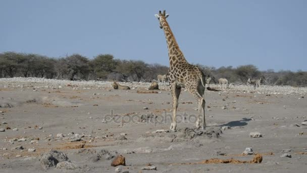Figyelmeztették a zsiráf, oroszlán a földön fekve nézi. Állomány zebrák (defocused) járás zavartalan a háttérben. Vadon élő állatok safari az Etosha nemzeti parkban, Namíbia, Afrika.