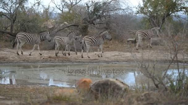 Állomány a zebrák például víznyelő iszik. Vadon élő állatok Safari, a Kruger Nemzeti Park, úticél Dél-Afrikában.