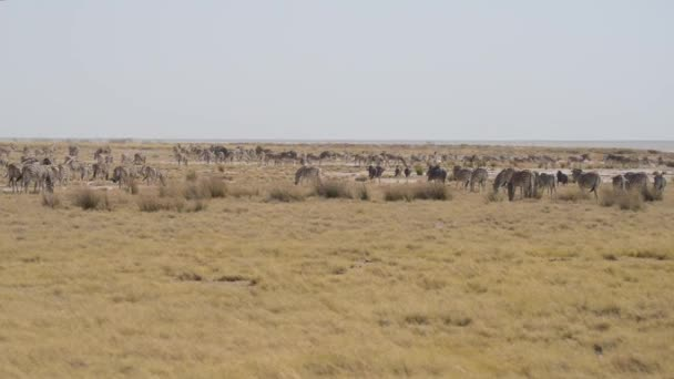 Zebre che pascono nella savana africana, cespuglio. Wildlife Safari, Parco nazionale di Etosha, riserve, Namibia, Africa