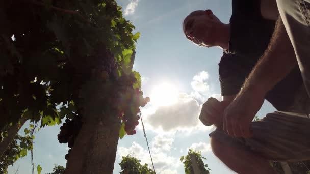Vinař nebo vinaře, ochutnávka kvalitních zralých hroznů