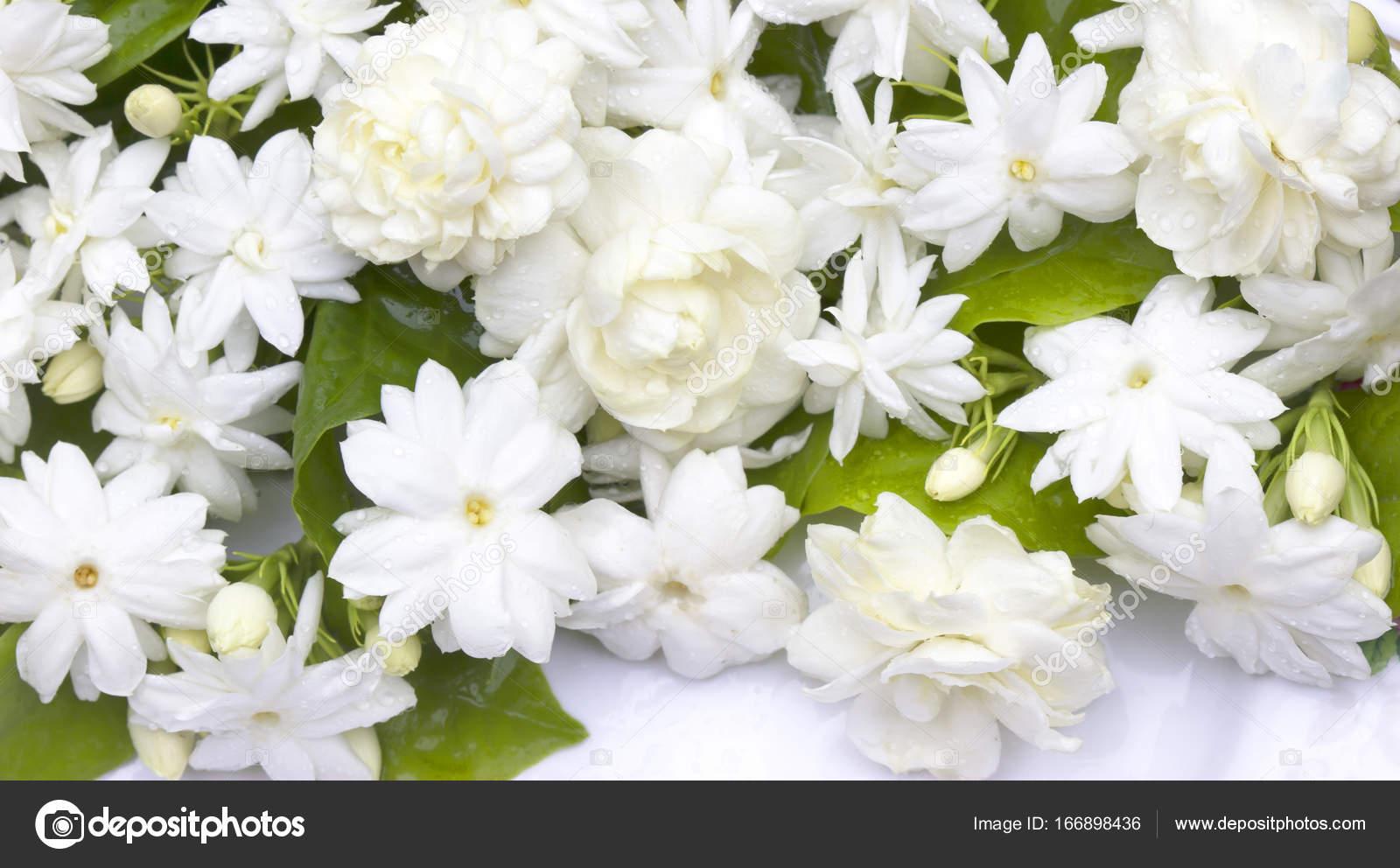 Jasmine flowers refreshing stock photo scenery1 166898436 jasmine flowers refreshing stock photo izmirmasajfo