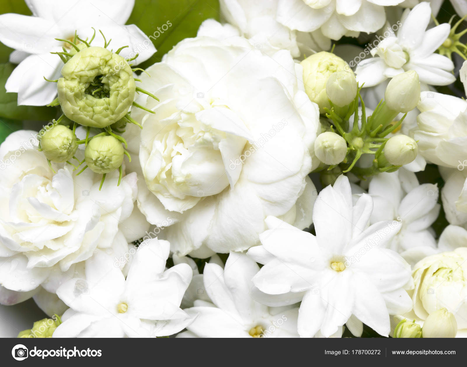 White Jasmine Flowers Fresh Flowers Stock Photo Scenery1 178700272
