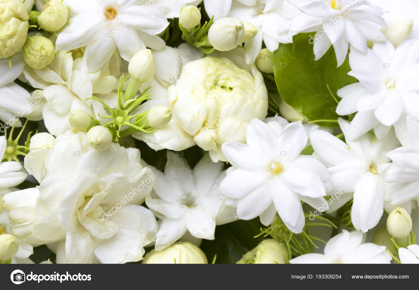 White Jasmine Flowers Stock Photo Scenery1 193309254