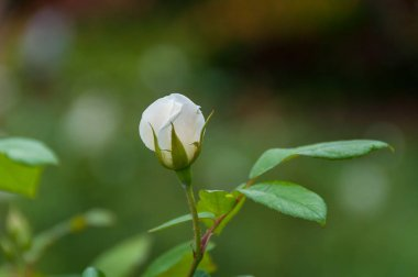 Close up of cream white rose bud with green leaves