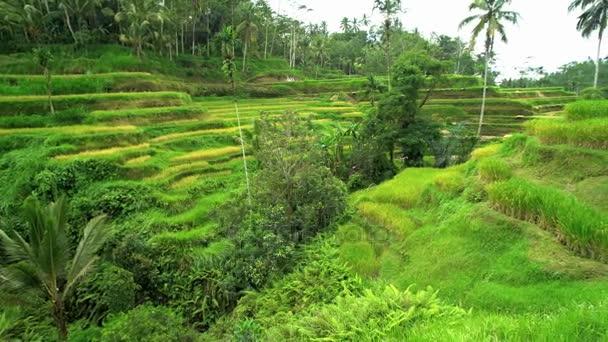 Verde Vegetación De Terraza Cultivo De Arroz