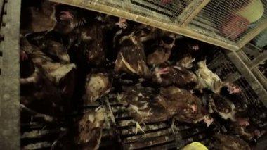 Live Free Range chickens on market