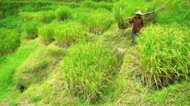 rice farmer carrying crops