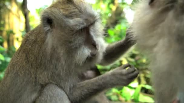 Macaca monkeys grooming