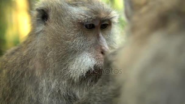Macaque grooming fur