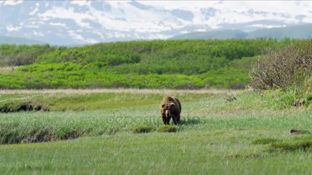 hnědý medvěd grizzly lovecká
