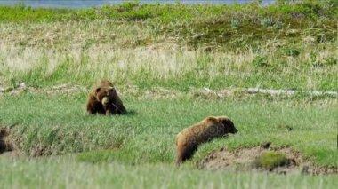 medvědí mláďata s matkou v divočině