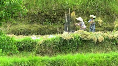 Farm workers thrashing sheets of rice
