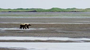 Medvěd hnědý cubs v Katmai poloostrov
