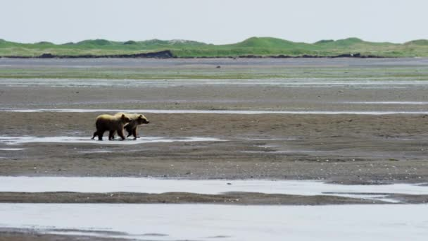 Brown Bear cubs at  Katmai Peninsula