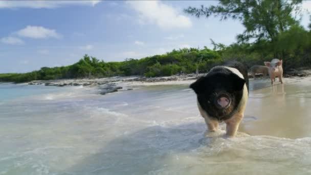 Big Major Cay wild pigs enjoying a bit of beach time in the sunshine  uninhabited coastline Bahamas Caribbean