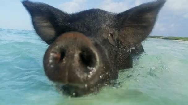 View of Big Major Cay Pig swimming in the sea on remote Bahamas uninhabited  tropical island Caribbean