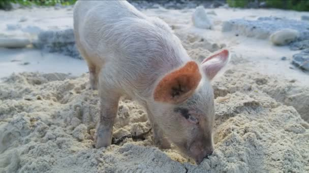 Big Major Cay piglet relaxing on the beach in the wild on tropical  uninhabited island in paradise tourist attraction in the Bahamas Caribbean