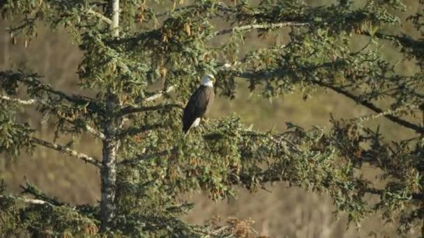 Vista aerea di American Bald Eagle Haliaeetus leucocephalus riposa sullalbero foresta selvaggia Alaska Range America