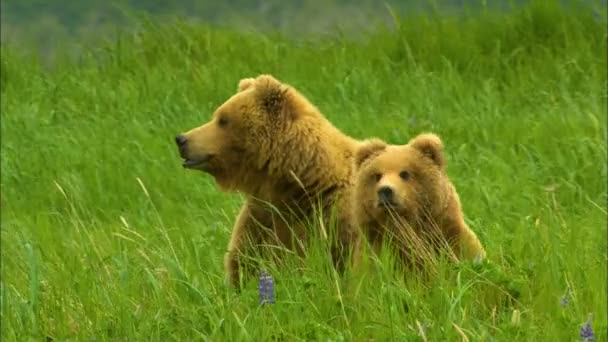 Alaskan brown grizzly bear Ursus arctos with cub on grassland in nature of Katmai National Park Reserve Alaska America