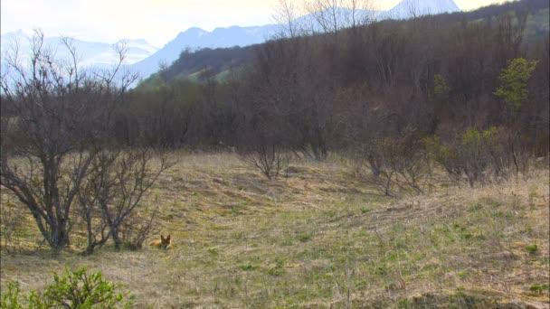 Alaskan carnivore red fox Vulpes vulpes lying on the grass of wilderness Katmai National Park Reserve Alaska USA