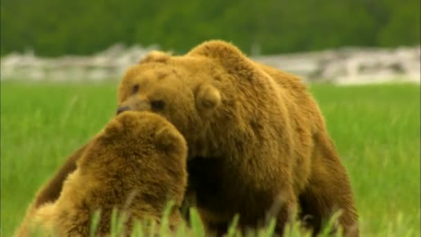 Alaskan brown grizzly bears Ursus arctos playing with each other in wilderness Katmai National Park Reserve Alaska America