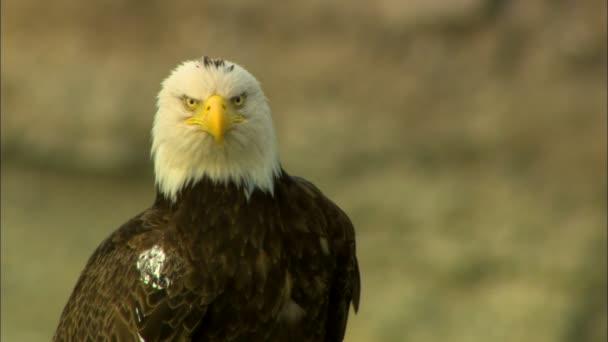 National Symbol Usa Bird Prey Bald Eagle Haliaeetus Leucocephalus
