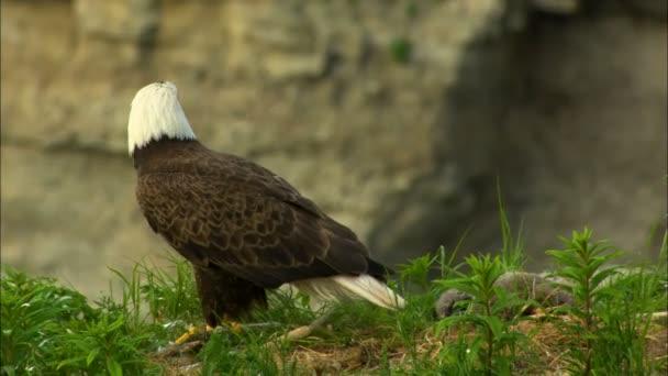 ede5d67d5a Majestosa Águia Voando Ninho Com Filhotes Penhasco Deserto Katmai National–  gráficos de vetor