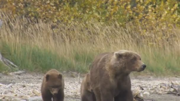 Alaskan brown grizzly bear Ursus arctos with cubs going on riverbank of Katmai National Park Reserve Alaska America