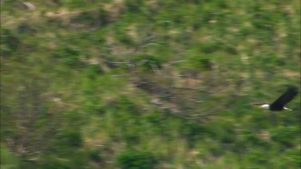 Maestosa aquila calva leucocephalus Haliaeetus a caccia di prede in area selvaggia di Katmai National Park Reserve Alaska America