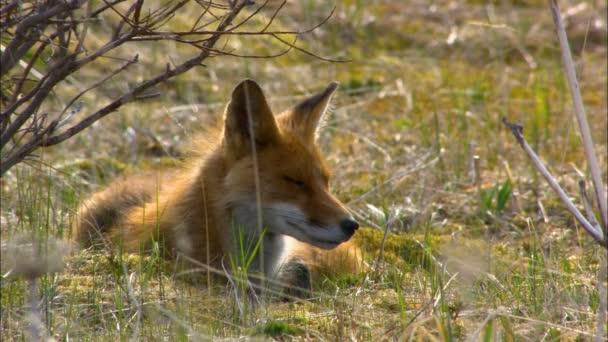 Alaskan carnivore red fox Vulpes vulpes lying on the grass of wilderness Katmai National Park Reserve Alaska America