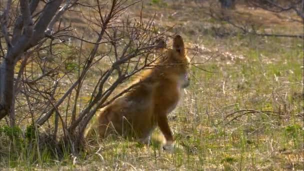Alaskan red fox Vulpes vulpes hunting for prey on wild nature in Katmai National Park Reserve Alaska America