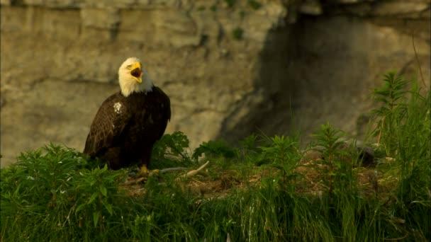 Bald Eagle Haliaeetus leucocephalus in nido su scogliera nellhabitat naturale di Katmai National Park Reserve Alaska America