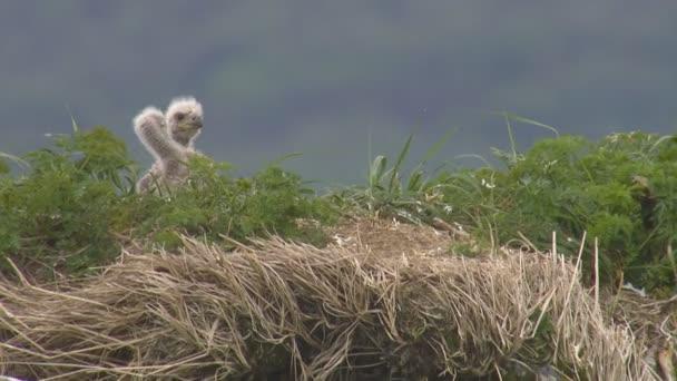 Bald Eagle Haliaeetus leucocephalus pulcini nel nido sulla roccia in zona selvaggia di Katmai National Park Reserve Alaska America