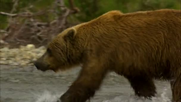 View of powerful large brown bear river hunting in remote wilderness National Park and Reserve Alaska USA