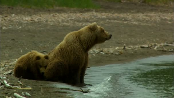 Grizzly brown bear family Ursus arctos adult and cub on the shoreline Katmai National Park and Reserve Alaska USA