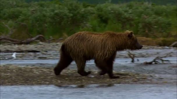 Katmai pohled řeka lovu ve vzdáleném divočiny národního parku a rezervní Alaska Usa silný velký medvěd hnědý