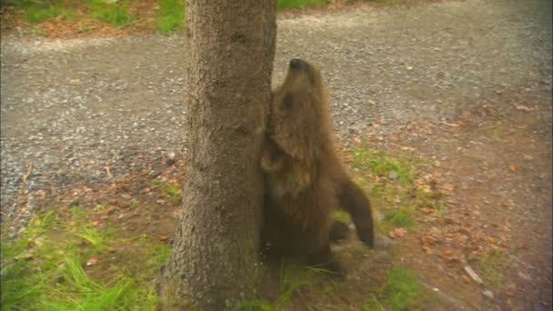 Bear Ursus arctos cub playfully rubbing fur up tree Katmai National Park and Reserve Alaska USA