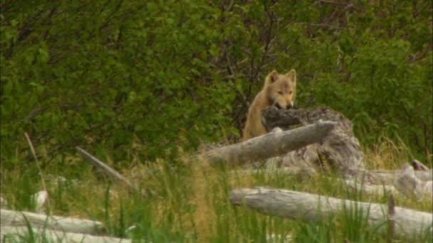 Pohled na Divoký vlk se chytit, chůze na louky poblíž vyplaveny dřevo vzdálené divočiny národního parku Katmai a rezervní Alaska Usa