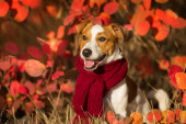 Jack russel terrier in red  scarf in autumn forest