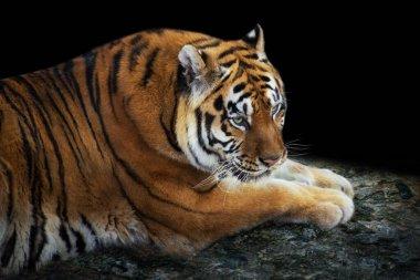 Tiger lay on rock against dark background