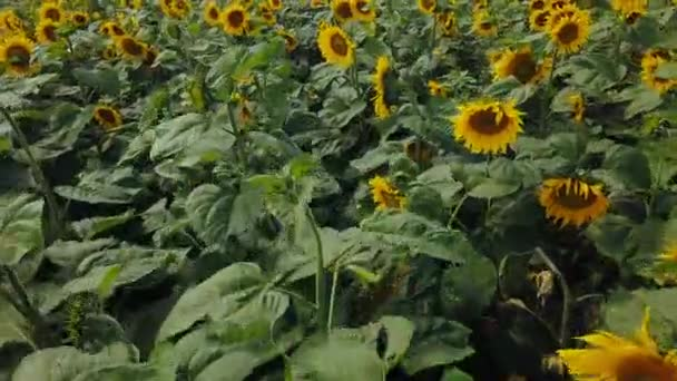 Aerial view flowering sunflowers sunflower field plant natural agriculture